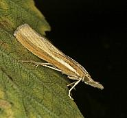 Agriphila tristella, Co Louth