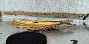 63.09 Agriphila inquinatella, Co Donegal