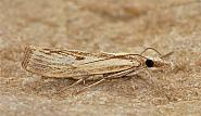 63.09 Agriphila inquinatella, Co Clare
