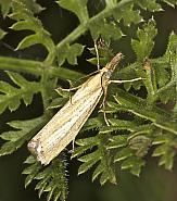 63.093 Agriphila straminella, Co Louth