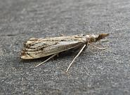 63.102 Catoptria falsella, Co. Wicklow