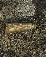 Garden Grass-veneer, Chrysoteuchia culmella, Co Louth