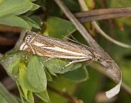 Crambus lathoniellus, Co Louth