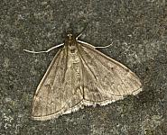 63 016 Anania fuscalis, Co Louth