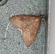 63.016 Anania fuscalis, Co.Donegal