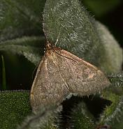 63.016 Anania fuscalis, Co Louth