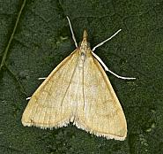 63.022 Anania crocealis, Co Louth