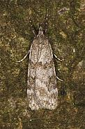 63.064 Scoparia ambigualis, Co Louth