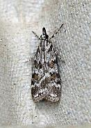 63.066 Scoparia pyralella, Co Donegal