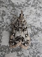 63.067 Eudonia lacustrata, Co. Meath