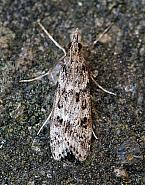 63.069 Eudonia angustea, Co Donegal