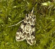 63.072 Eudonia delunella, Co Louth
