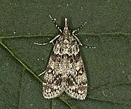 63.073 Eudonia truncicolella, Co Louth