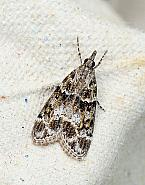 Eudonia mercurella, Co Leitrim