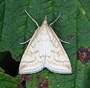 63.033 Udea lutealis, Co Donegal