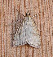 63.033 Udea lutealis, Co Wicklow