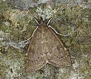 63.034 Udea prunalis, Co Louth