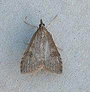 63.034 Udea prunalis, Co Wexford