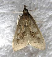 63.04 Mecyna asinalis, Co Clare