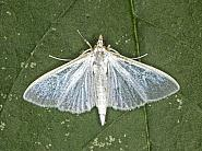 63.048 Palpita vitrealis, Co Louth
