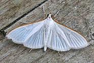 63.048 Palpita vitrealis, Co Cork