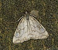 63.060 Evergestis pallidata, Co Louth