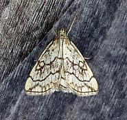 63.06 Evergestis pallidata, Co Leitrim
