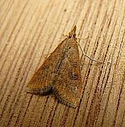 63.031 Rusty-dot Pearl, Udea ferrugalis, Co Cork