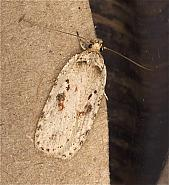 Agonopterix ocellana, Co Louth