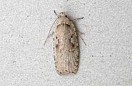 32.007 Agonopterix ocellana, Co Wexford