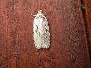 32.007 Agonopterix ocellana, Co. Meath