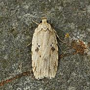 32.017 Agonopterix arenella, Co Louth