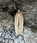 32.028 Agonopterix pallorella, Co.Donegal