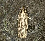 32.029 Agonopterix umbellana, Co Louth