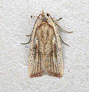 32.030 Agonopterix nervosa, Co Wexford