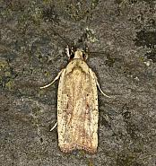 32.030 Agonopterix nervosa, Co Louth