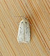 32.035 Agonopterix yeatiana, Co Wexford