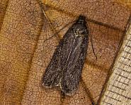 32.038 Depressaria badiella, Co Louth