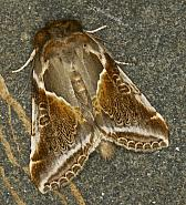 65.009 Buff Arches, Habrosyne pyritoides, Co Louth