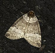 65.013 Common Lutestring, Ochropacha duplaris, Co Louth