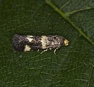 38.028 Elachista luticomella, Co. Louth