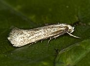 38.038 Elachista rufocinerea, Co Louth