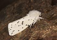 72.02 White Ermine, Spilosoma lubricipeda, Co Louth
