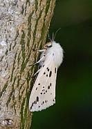72.02 White Ermine, Spilosoma lubricipeda, Co Wexford