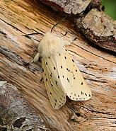 White Ermine, Spilosoma lubricipeda, Co Donegal