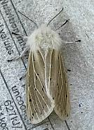 72.02 White Ermine, Spilosoma lubricipeda, Co Cork