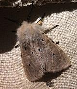 72.022 Muslin Moth, Diaphora mendica, Co. Cork