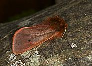 72.024 Ruby Tiger, Phragmatobia fuliginosa, Co Louth