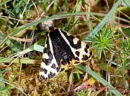 72.025 Wood Tiger, Parasemia plantaginis, Co Sligo