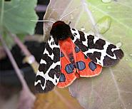 72.026 Garden Tiger, Arctia caja, Co Wicklow